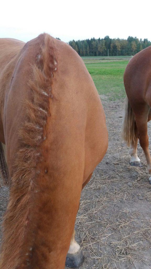 Hevosen kesäihottuma