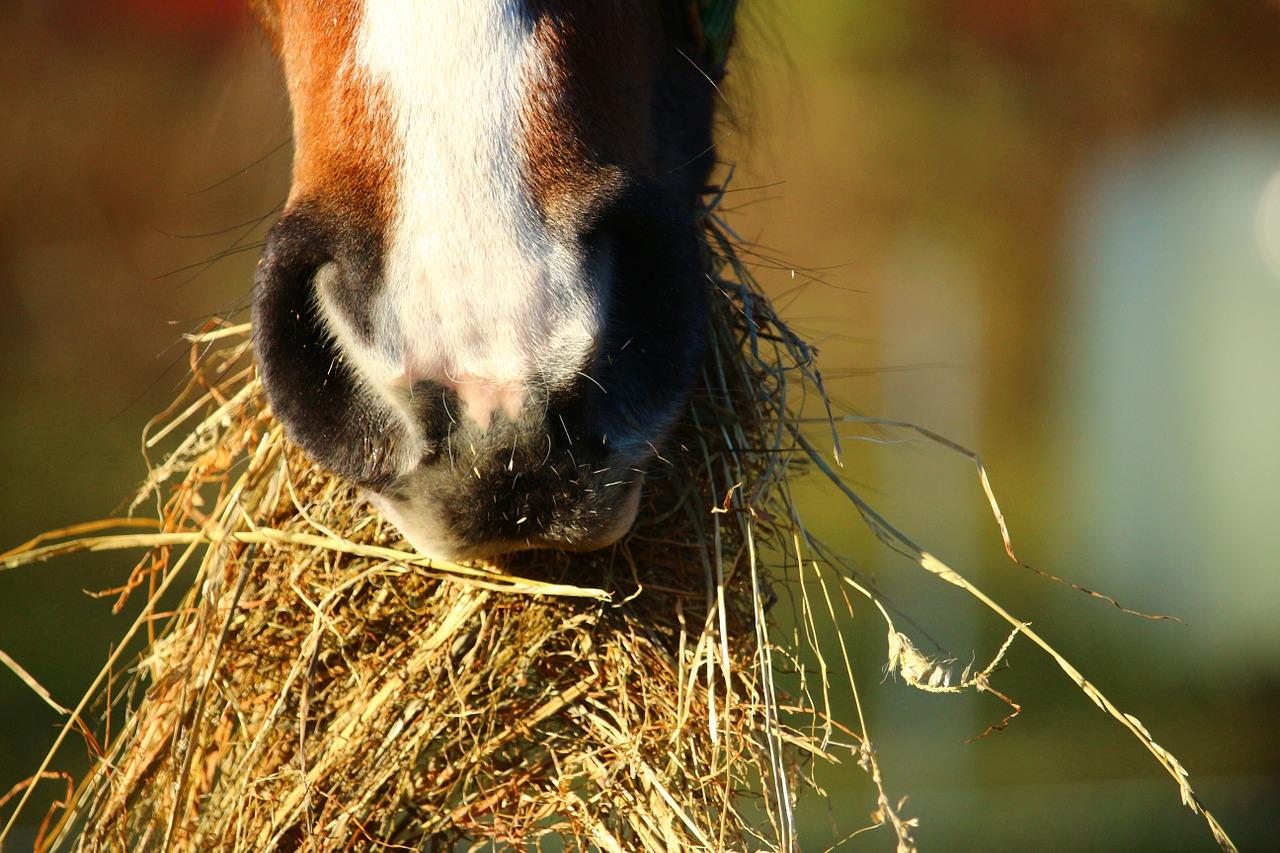 Hevonen syö